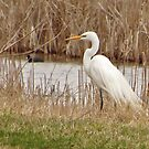 The Elegent Egret by lorilee