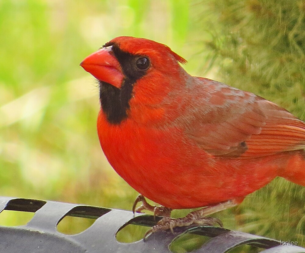 Cardinal at the Bird Bath by lorilee