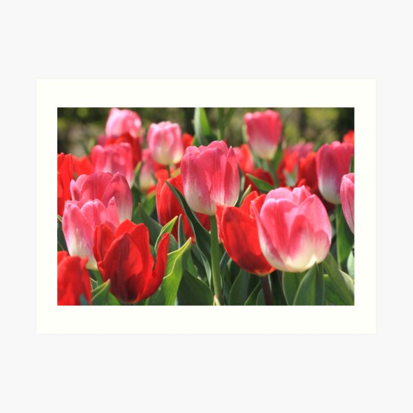 Pink And Red Tulips Art Print