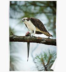Osprey Dining On Remora Poster