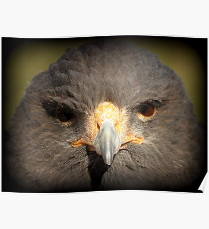 Harris's Hawk~ In Your Face Poster