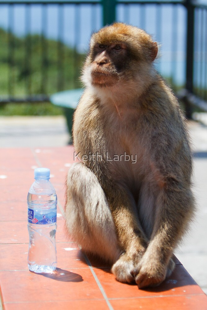 Barbary Macaque with  a bottle of Water In Gibraltar by Keith Larby