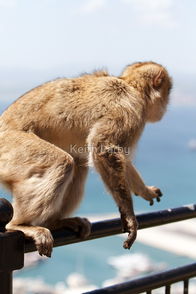 On the move, a Barbary Macaque In Gibraltar by Keith Larby