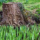 Tree Stump by John Dalkin