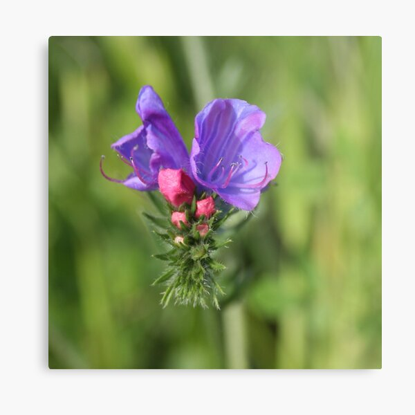 Viper's bugloss blue and pink flowers 2 Metal Print