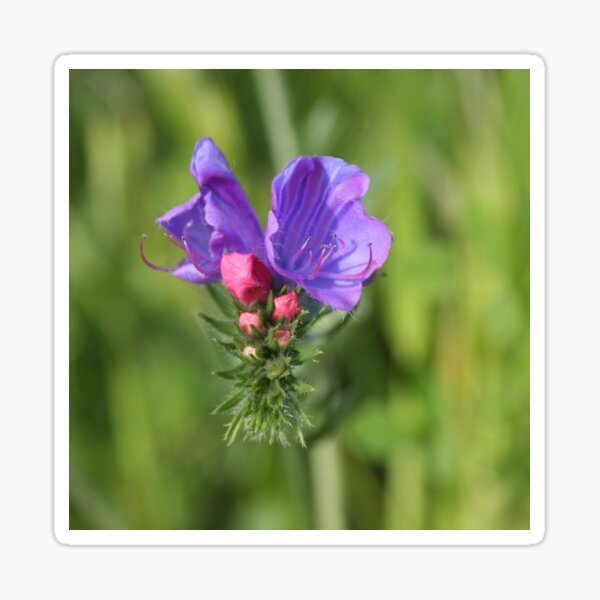 Viper's bugloss blue and pink flowers 2 Sticker
