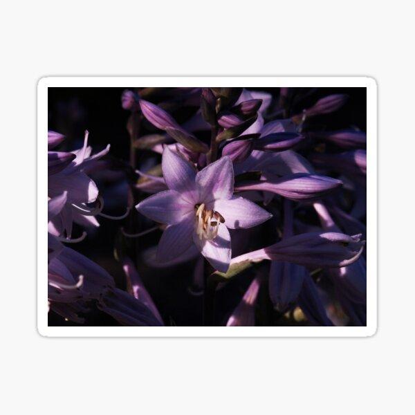 Purple Hosta Sticker