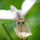 White butterfly on a white flower by TJ Baccari Photography