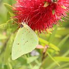 Cloudless Sulphur by Bob Hardy
