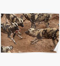 Feeding African Painted Dogs Poster