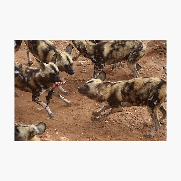 Feeding African Painted Dogs Photographic Print