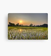 Ricefield Sunrise Chiang Rai Canvas Print