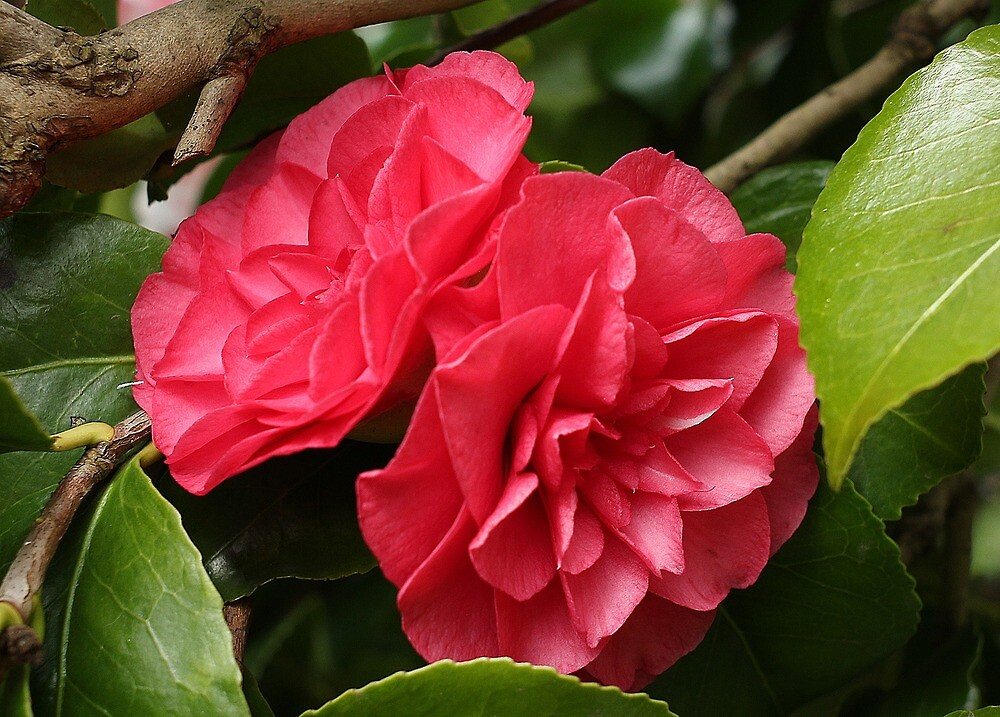 Double trouble - Camelia by Rivendell7
