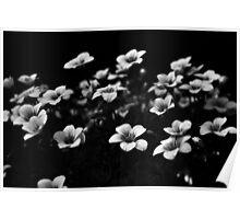 SAXIFRAGA 'WHITE PIXIE' Poster