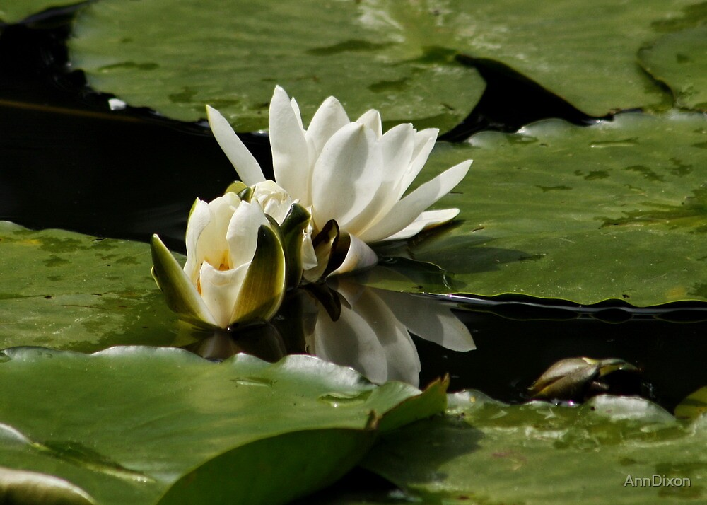 Lily Pads by AnnDixon