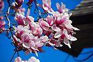Magnolias by John Schneider