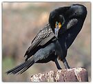 Doubled-crested Cormorant 1 of 6 by Betsy  Seeton