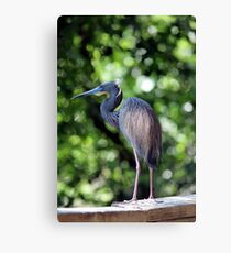 Blue Heron perched Canvas Print