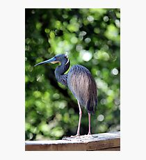 Blue Heron perched Photographic Print
