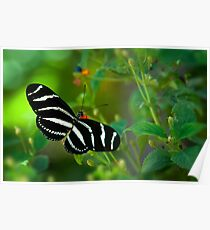 A Zebra Longwing Butterfly  Poster