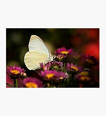 Cloudless Sulphur Butterfly  Photographic Print