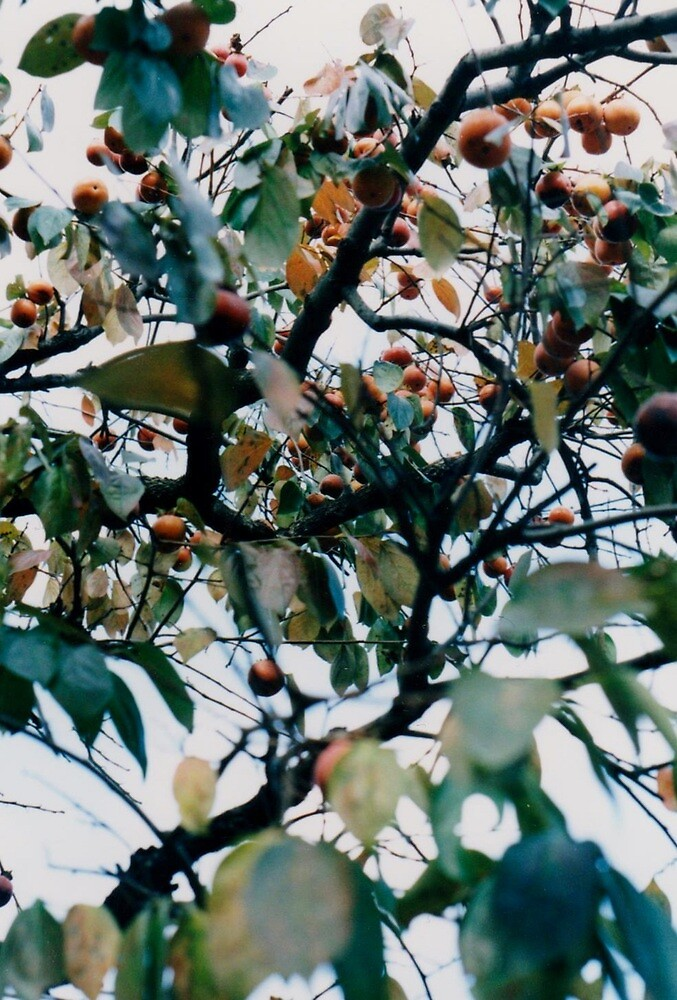 persimmon tree by juliaweston