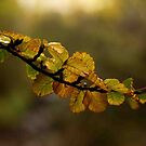 fagus dreaming by Claire Walsh