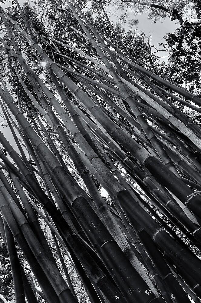 Bamboo Forest  by John  Kapusta