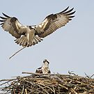 Building a nest by (Tallow) Dave  Van de Laar