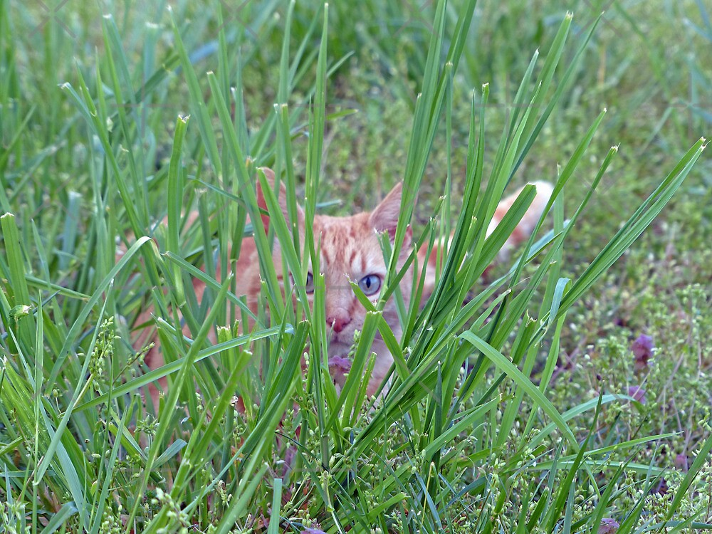 Tiger in the Grass by FrankieCat