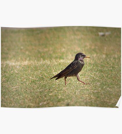European Starling Strut Poster