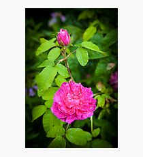 Pink Rose England Photographic Print