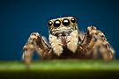 Pseudeuophrys erratica jumping spider photo by Mario Cehulic