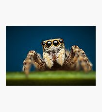 Pseudeuophrys erratica jumping spider photo Photographic Print