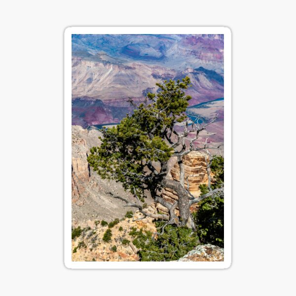Twisted Tree Above the Colorado Sticker