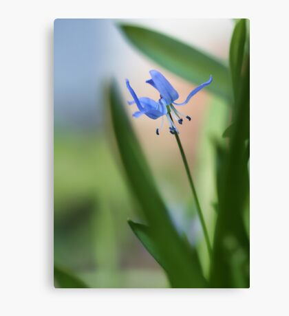 Siberian Squill Canvas Print