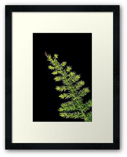 Fern, Fern, Asparagus Fern by paintingsheep