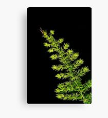 Fern, Fern, Asparagus Fern Canvas Print