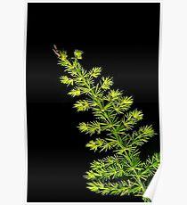 Fern, Fern, Asparagus Fern Poster