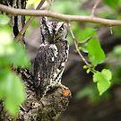 Screech owl by Kate Farkas