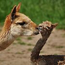 Vicuna Baby by Designer023