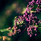 Beauty berries by Adriano Carrideo