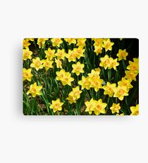 A Sea of Daffodils Canvas Print
