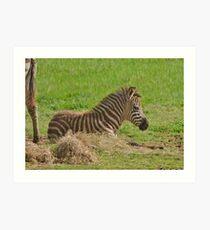 Baby Zebra Resting Kunstdruck