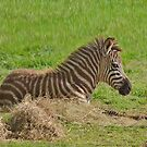 Baby Zebra Resting by Kathy Baccari