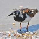 Rudy Turnstone In Breeding Colors by Kathy Baccari
