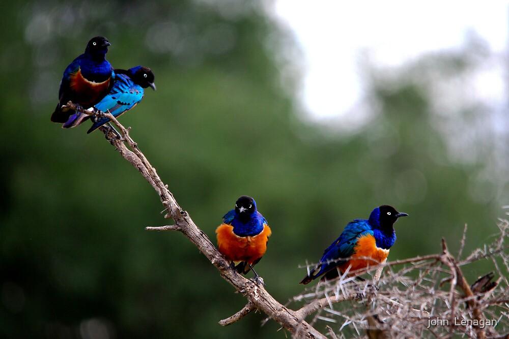 Superb Starlings  -  Lamprotornis superbus  - Tanzania  by john  Lenagan