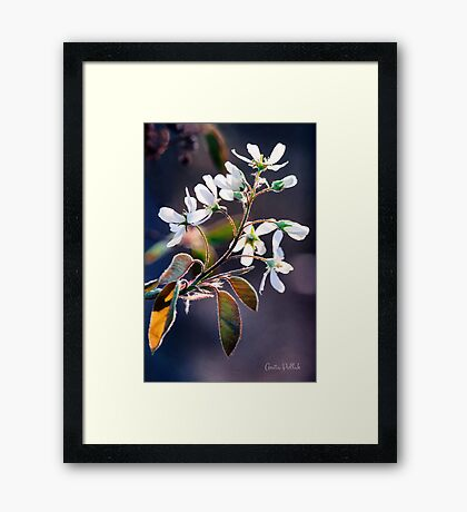 Glorious Shad Blossoms Framed Print