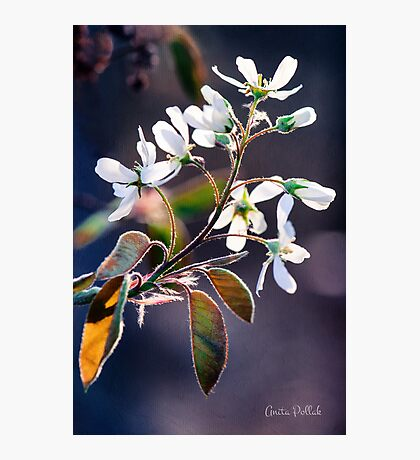 Glorious Shad Blossoms Photographic Print