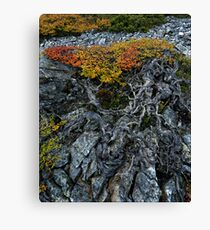 Gnarly Nothofagus Gunnii Canvas Print